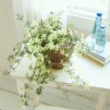 常緑クレマチス「ペトリエイ」鉢植え 写真