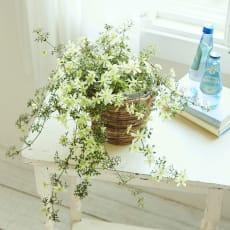 常緑クレマチス「ペトリエイ」鉢植え