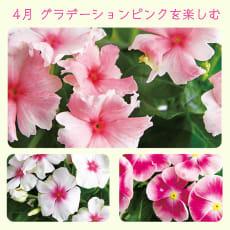 【毎月届くお花の頒布会】色とりどりのビンカコース(植え込み済み)(2020年4月~2020年9月)