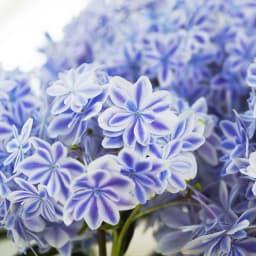 【母の日ギフト】幾重にも重なった花びら アジサイ「万華鏡」 万華鏡のようなきらびやかな花色を放っている」ことから命名されました。