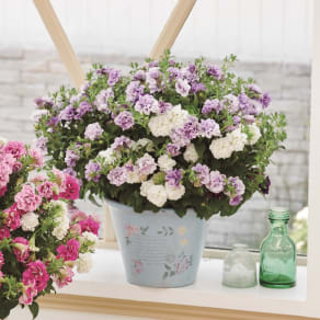 【母の日ギフト】フリル咲きサフィニア鉢植え(ブルー系) 写真