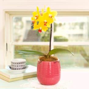 【母の日ギフト】元気を届ける花色 ミディ胡蝶蘭「ナオミゴールド」 写真
