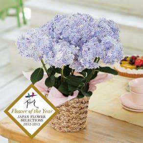 【母の日ギフト】幾重にも重なった花びら アジサイ「万華鏡」 写真
