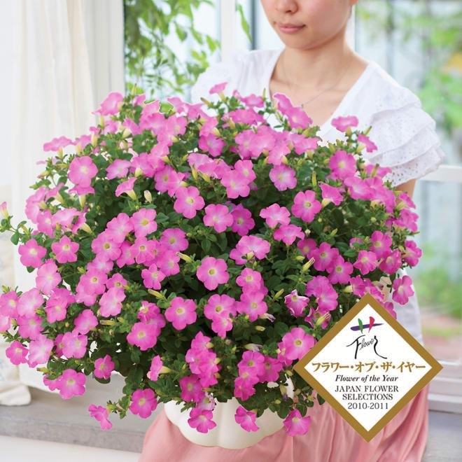 【母の日ギフト・早期お届け】大きな鉢に植え替えるとこんなに大きく!ペチュニア「マドンナの宝石(ピンク)」 キュートな花姿と花色!お手入れも簡単!!