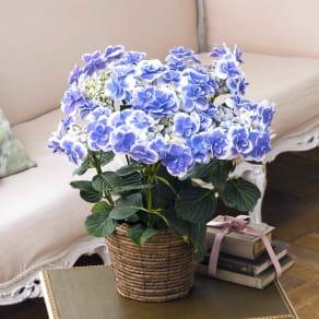 【母の日ギフト】さかもと園芸のアジサイ「ドリップ」(ブルー) 写真