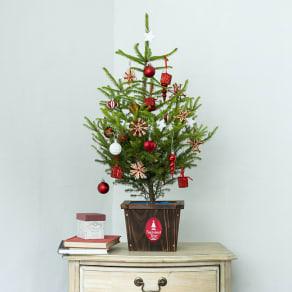 国内産クリスマスツリー鉢植え 写真