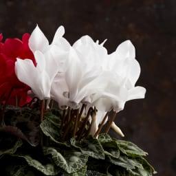 紅白シクラメン寄せ植え
