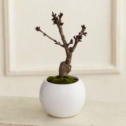 桜盆栽 「旭山(あさひやま)」【お歳暮のし付き】 お届け見本(枝ぶりは各々異なります。)
