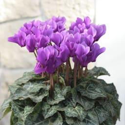 自然開花シクラメン「セレナーディア(アロマブルー)」鉢植え 自然開花での栽培のため、お届け後にたくさん花をつけます。
