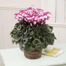 自然開花シクラメン「ビクトリア」鉢植え