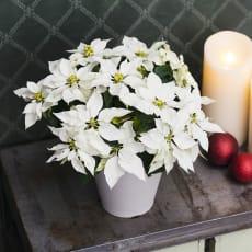 プリンセチア鉢植え「ピュアホワイト」