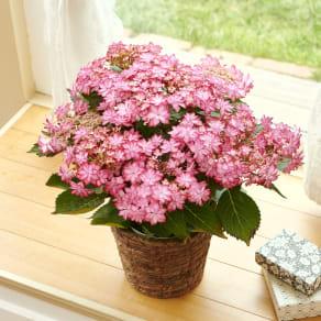 【母の日ギフト】星咲きアジサイ「ひなまつり」 写真