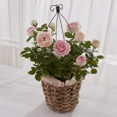 【母の日ギフト】殿堂入りのバラ「ピエール・ドゥ・ロンサール」