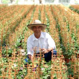 おうちで朝顔市 4色咲き朝顔 鉢植え