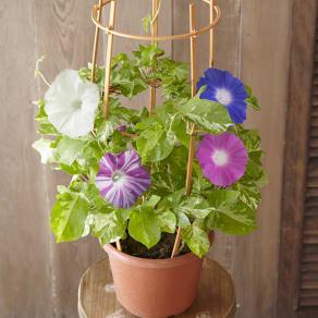 おうちで朝顔市 4色咲き朝顔 鉢植え 写真