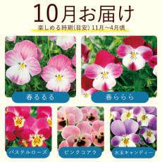 【毎月届くお花の頒布会】色とりどりのビオラコース(植え込んでお届け)(2021年10月~2022年3月)