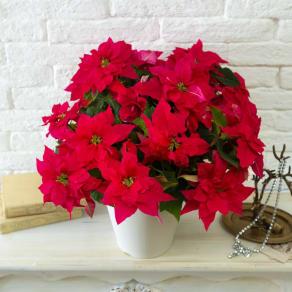 プリンセチア鉢植え「オペラ」 写真