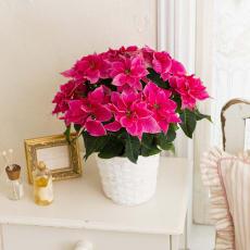 八重咲きプリンセチア「ローザ」鉢植え