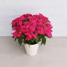 プリンセチア「ルージュ」鉢植え