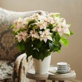 八重咲きプリンセチア「ロゼマーブル」鉢植え 写真