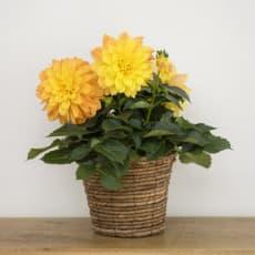 母の日 ギフト プレゼント ダリア 「太陽のほほえみ」 鉢植え 生花 鉢花 花 オレンジ イエロー
