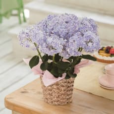 送料無料 アジサイ 「万華鏡」 鉢植え 生花 鉢花 花 ブルー あじさい 紫陽花 ギフト プレゼント