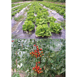ニーム肥料(2袋) ※収穫物イメージ
