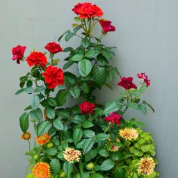 クラシック元肥入りディノスオリジナル培養土 バイオゴールド×吉谷桂子×dinos  バイオゴールドソイル18L 薔薇の育成にも。発色、育成ともに効果的です。