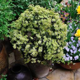 ローズバルーン大小2個組 商品使用イメージ(開花時)