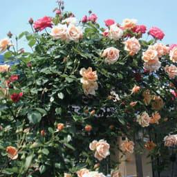 【お試し】バイオゴールド セレクション 薔薇 バラ用追肥料 1kg