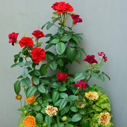 【WEB限定商品】バイオゴールドお試し3点セット 薔薇用 薔薇の育成にも。発色、育成ともに効果的です。