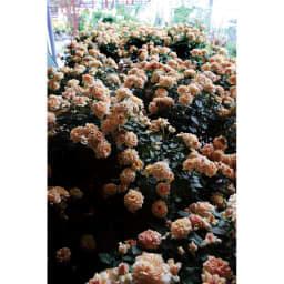 バイオゴールド 薔薇 バラ用追肥料 3.8kg ≪吉谷桂子さん特集≫