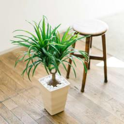 CT触媒加工 インテリアグリーン トックリヤシ 白石を鉢にセットしてすぐに飾れます