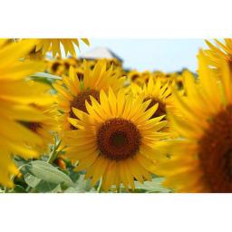 創業1866年槙田商店/ジャカード織 晴雨兼用長傘(UVカット加工) 絵おり 向日葵 ひまわりの花をイメージしてデザインしました