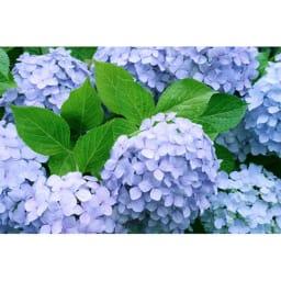 創業1866年槙田商店/ジャカード織 晴雨兼用長傘(UVカット加工) 絵おり 紫陽花 あじさい花をイメージしてデザインしました