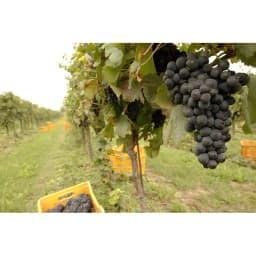 イタリアフリッツァンテ飲み比べ2種セット(スパークリングワイン) 「ピノ・ピノ」のぶどう収穫風景【ピノ・ネーロ(ピノ・ノワール)】