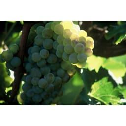 【ワイン】カサル・ディ・セッラ・ヴェルディッキオ ぶどうは「ヴェルディッキオ」を使用。