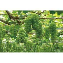 岡山産 ぶどう「瀬戸ジャイアンツ」 (約700g) 篤農家が手間ひまかけて栽培