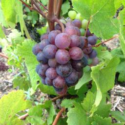 ボジョレー・ヴィラージュ・ヌーボー エリック・パルドン ヴィエイユ・ヴィーニュ 2020 じっくり丹念に育てられたぶどうから、コクと風味たっぷりの飲み応えのあるワインを造り出しています。