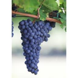 【ワイン】チャンキー・レッド・ジンファンデル (750ml) 原料となるぶどう品種「ジンファンデル(プリミティーヴォ)」