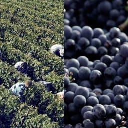 【シャンパン】ジョセフ・ペリエ キュヴェ ロワイヤル Brut(ブリュット) ジョセフ・ペリエのぶどう収穫風景。