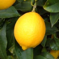 瀬戸内広島レモン (5kg)