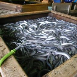 愛知・三河産特選うなぎセット(190g以上×3尾)【WEB/通常お届け】 矢作川の天然水を引き込んだ養殖場。池の底には山土を敷き、自然環境にこだわり育てました。